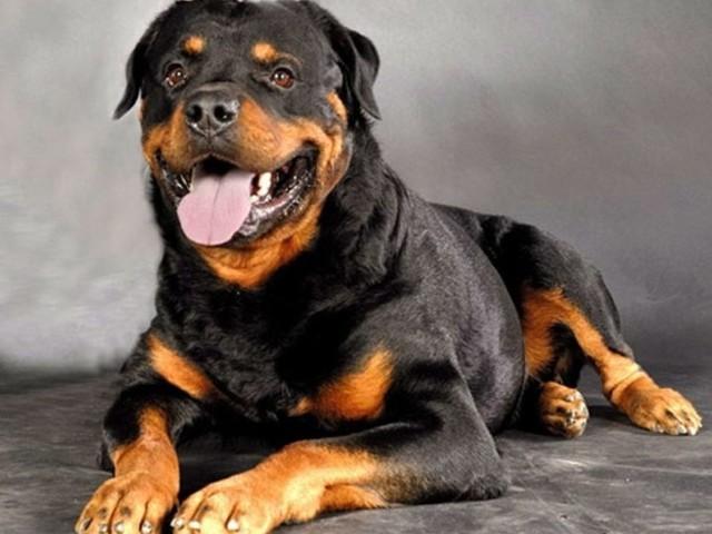 Cachorro rottweiler salva criança de convulsão