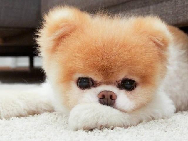 Cão 'mais fofo do mundo' morre aos 12 anos com o 'coração partido'