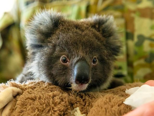 Abaixo-assinado pede que Nova Zelândia receba coalas ameaçados por incêndios na Austrália