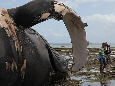 Facas e motosserras serão utilizados para remoção de baleia encalhada na Boa Viagem