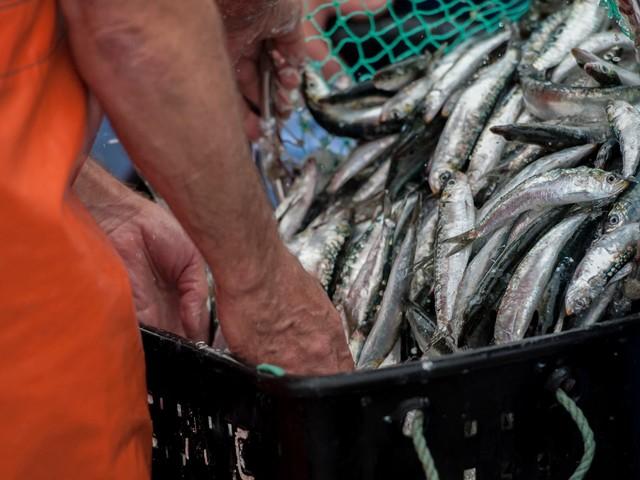 Conselho Internacional do Mar desconhece quanto tempo levará a recuperar stocks de sardinha