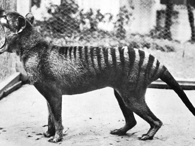 Tigre-da-tasmânia perdeu diversidade genética muito antes do contacto com humanos