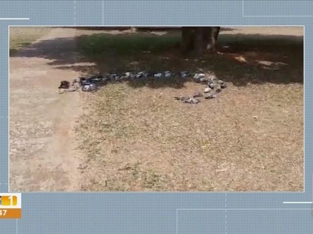 Dezenas de aves são achadas mortas e em formato de círculo em praça de Campo Grande: 'Chorei muito'
