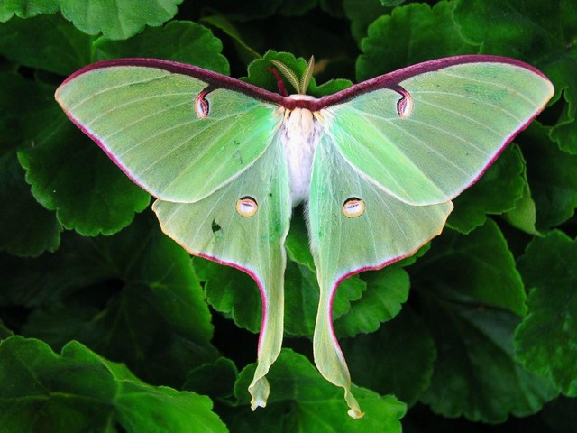 How Long Does the Luna Moth Live?