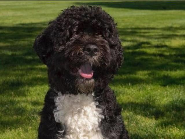 Bo, o famoso cãozinho da família Obama, morre e recebe condolências até da primeira-dama Jill Biden: 'trouxe sorrisos para todos nós'