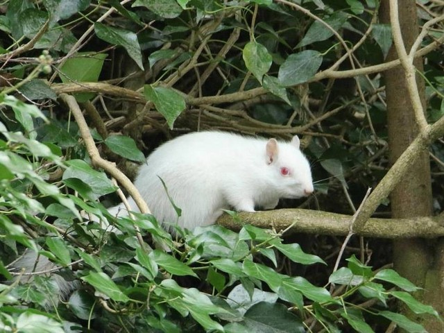 Esquilo albino raro é flagrado no interior da Inglaterra