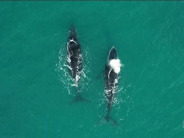 Pesquisadores usam drones para observar baleias jubarte na Bahia