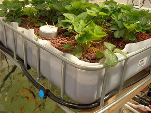 Governo da Madeira vai testar cultivo de plantas sem solo