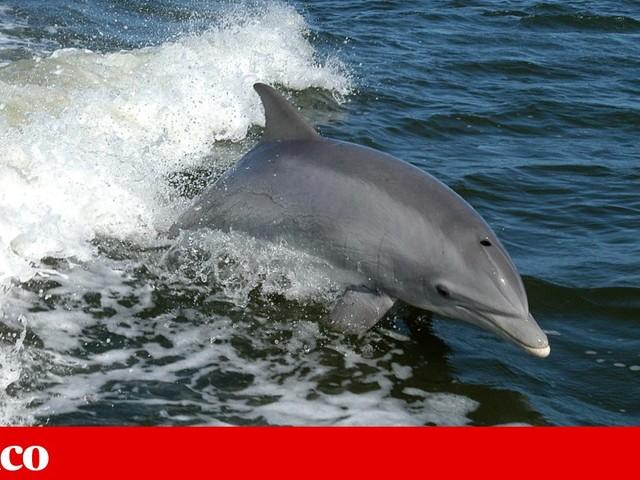 Mais de 260 golfinhos deram à costa nos Estados Unidos desde Fevereiro