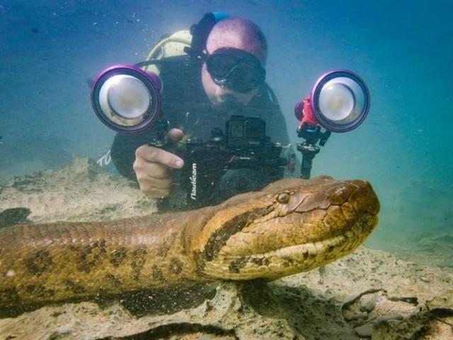 Sucuri 'posa' para foto e até lambe a câmera em rio de águas transparentes em MS