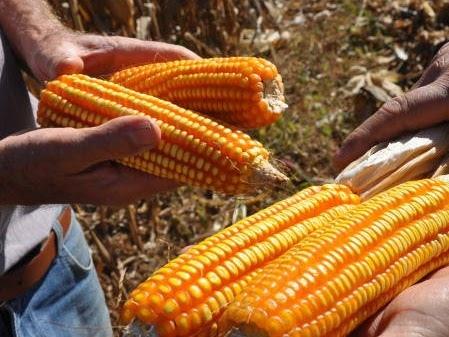 Ceará receberá reforço de 12,1 toneladas de grãos de milho para pequenos criadores