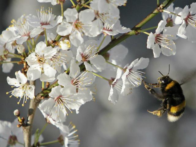 Bruxelas inicia luta contra declínio das abelhas