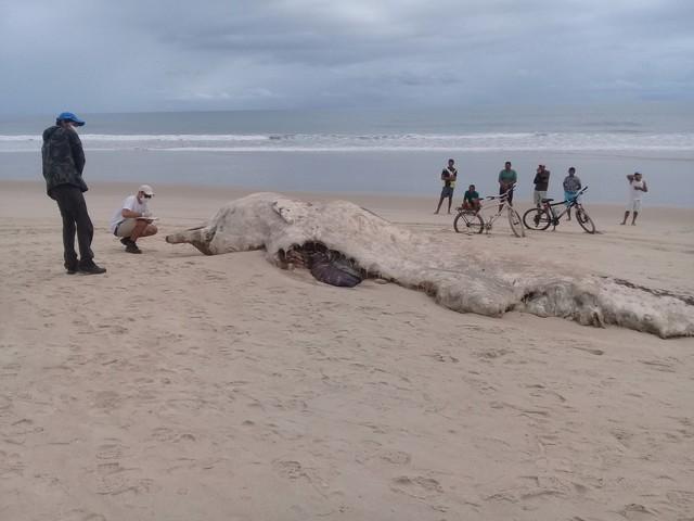 Esqueleto de baleia encalhada em praia cearense fará parte de novo acervo do Museu Nacional