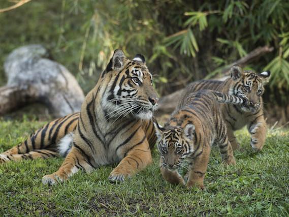 Chegam ao Animal Kingdom filhotes de tigre-de-sumatra