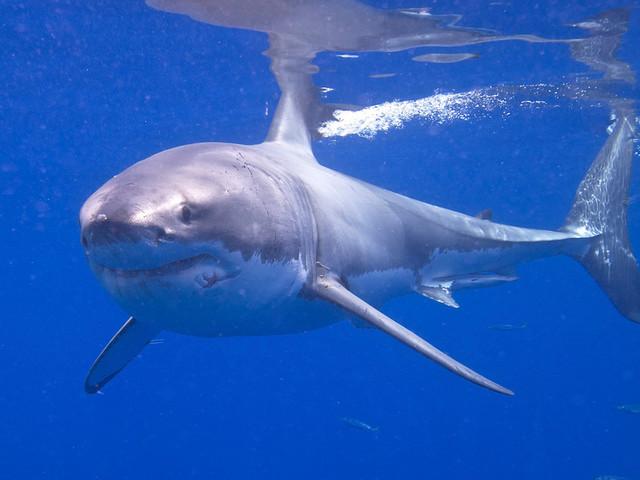 Phelps vs. Shark: o grande tubarão branco ganhou mas a desilusão foi outra