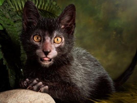 Conheça o gato-lobisomem, a nova raça felina