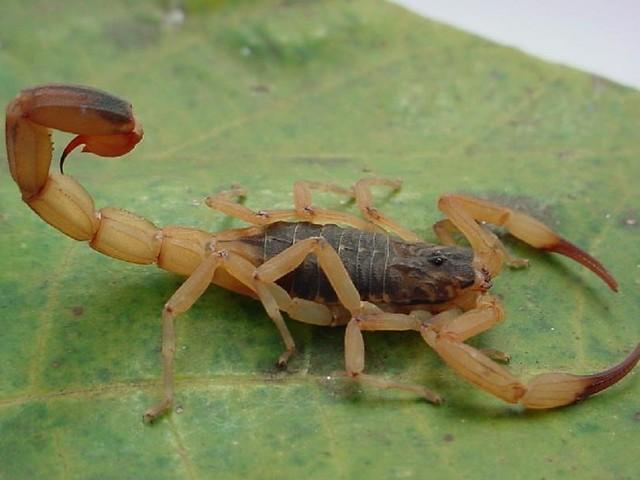 Piracicaba é a cidade da região com mais casos de picada de escorpião em 2017