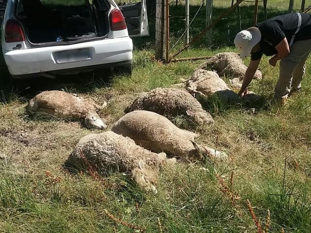 Homens são presos em flagrante transportando 16 ovelhas dentro de carro em Uruguaiana