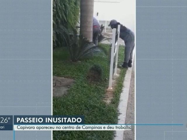 Capivara 'dribla' bombeiros, assusta porteiro, mas é capturada no Centro de Campinas; vídeo