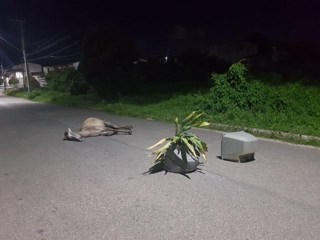Veículo atinge cavalo e animal fica agonizando em avenida de Fortaleza