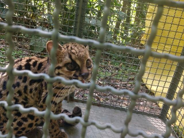 Gato-do-mato é resgatado após invadir casa em Caraguatatuba, SP