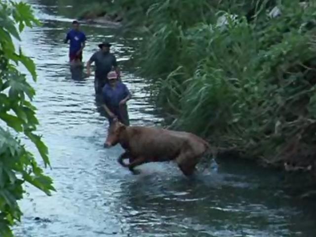 Vaca invade farmácia, cai em córrego e é resgatada após quatro horas, diz Corpo de Bombeiros
