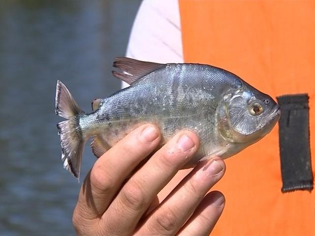 Aparecimento de piranhas em lago preocupa moradores de Araçoiaba da Serra
