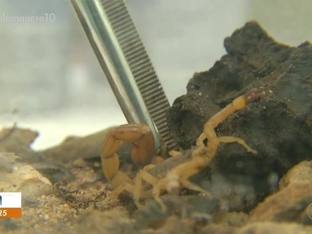 Secretaria registra 300 acidentes com escorpiões em Palmas; veja os cuidados e sintomas da picada