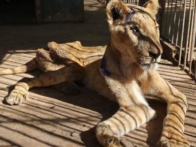 Não há comida para dar | Leões passam fome em zoológico abandonado no Sudão