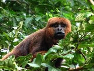 Vacinação contra Febre Amarela em PNH ( macacos)