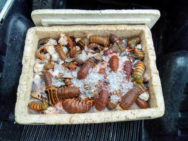 Homens são presos em Nova Almeida com 100 kg de lagosta furtada na Bahia