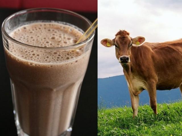 7% dos Americanos acreditam que achocolatado vem das vacas marrons