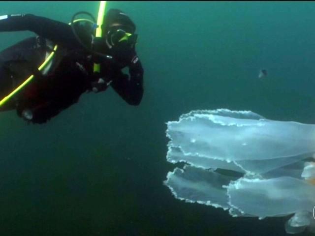 Mergulhadora nada ao lado de água viva gigante e vídeo viraliza na web