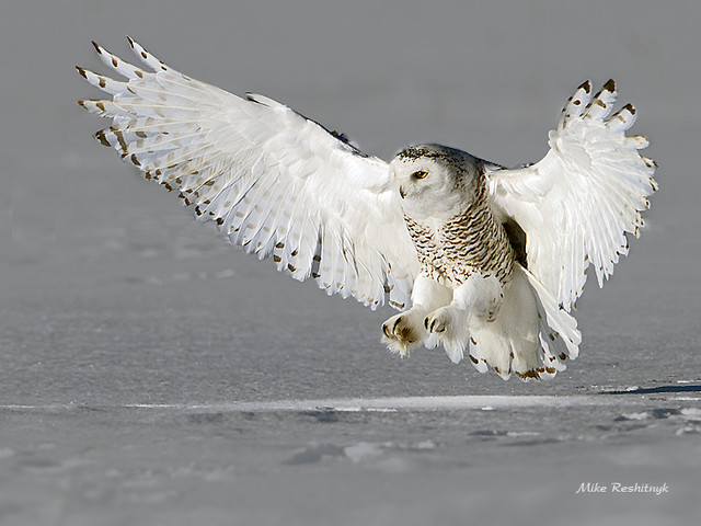 Natureza maravilhosa: coruja das neves