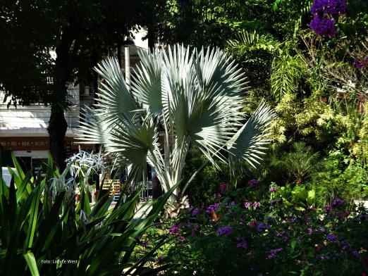 O verde do meu bairro: Palmeira Bismark