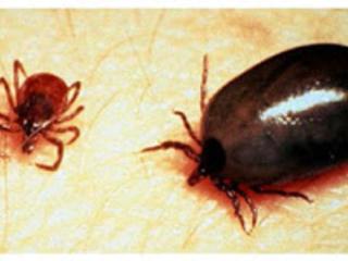 A doença de Lyme é causada por espiroquetas do complexo Borrelia burgdorferi