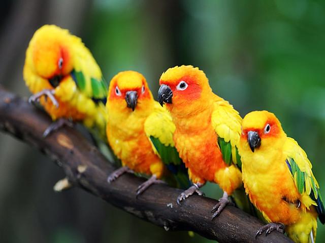 Natureza maravilhosa: Jandaia amarela