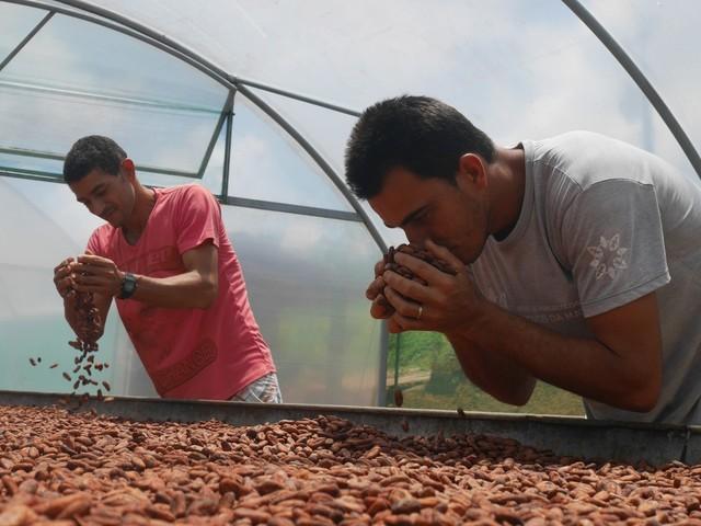 Cacau orgânico tira pequenos agricultores da pobreza na Bahia