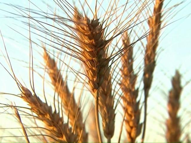 Plantio do trigo avança no Paraná, e agricultores plantam 46% dos grãos