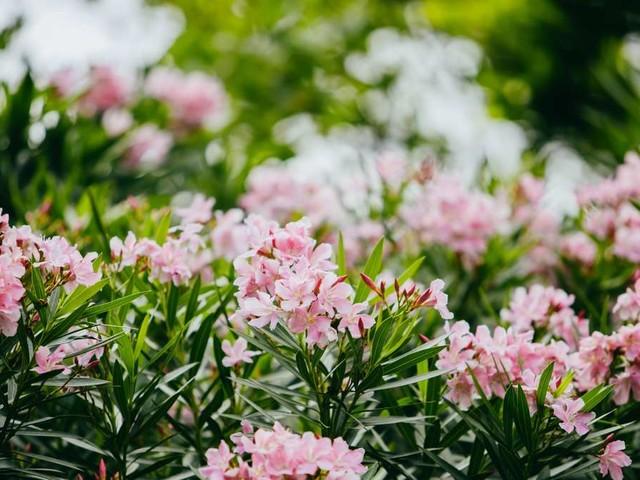 Oleander im Sommer: Darauf müssen Sie bei der Pflege der Kübelpflanze achten