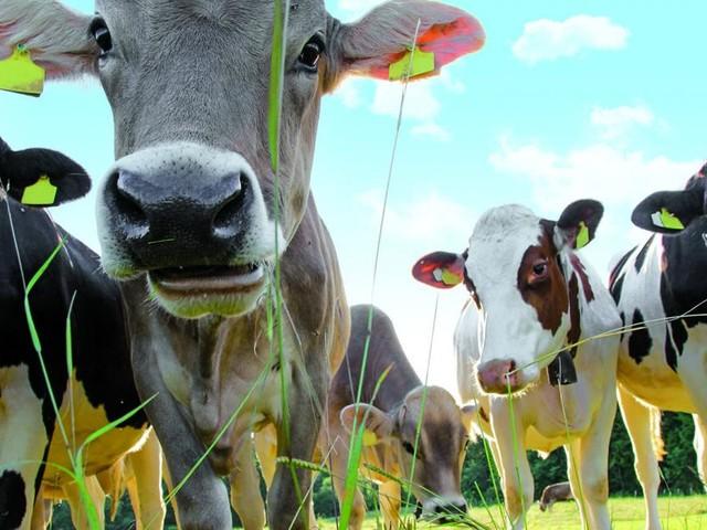 Almhüttenwandern am Wechsel: Wo die Kühe im Takt der Musik muhen