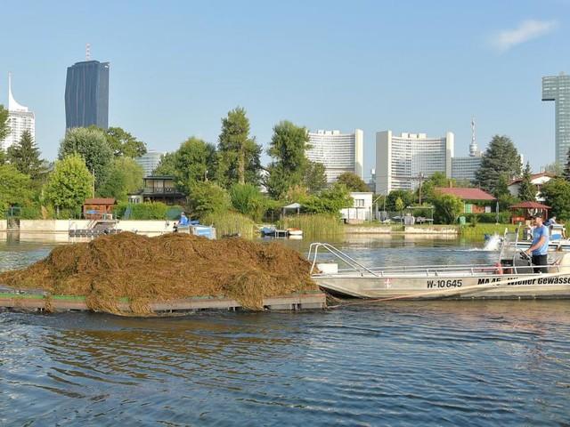 Wie die Stadt verhindern will, dass die Alte Donau zuwuchert