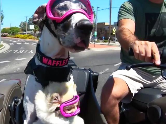 Waffles – Die Schutzbrillen tragende, Motorrad fahrende Dänische Dogge