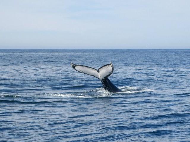 Warum Wale absichtlich Stress ausgesetzt werden