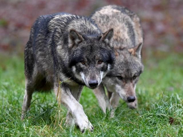 FDP: Schäfer und Jäger müssen Wolf im Notfall erschießen dürfen