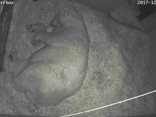 Eisbär-Baby in Gelsenkirchen: ZOOM Erlebniswelt mit erstem erfolgreichen Eisbär-Nachwuchs