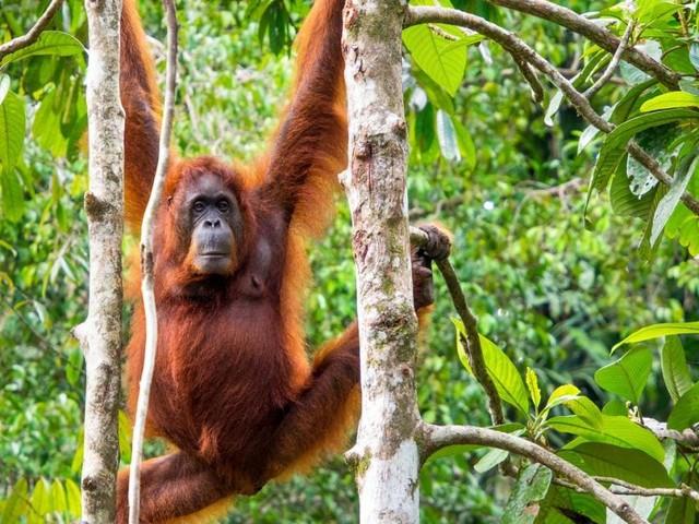 Aug in Aug mit dem Orang-Utan im Dschungel