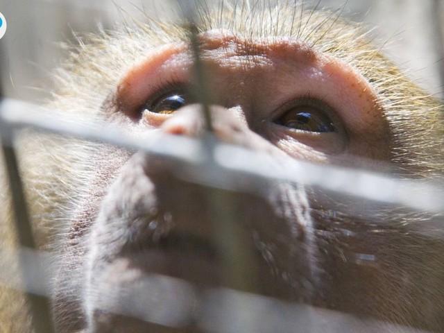 Tierschützer decken auf: Hunde und Affen erleiden grausame Qualen