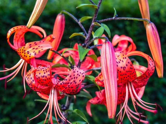 Tigerlilie: Das macht die winterharte Pflanze so beliebt bei Hobby-Gärtnern
