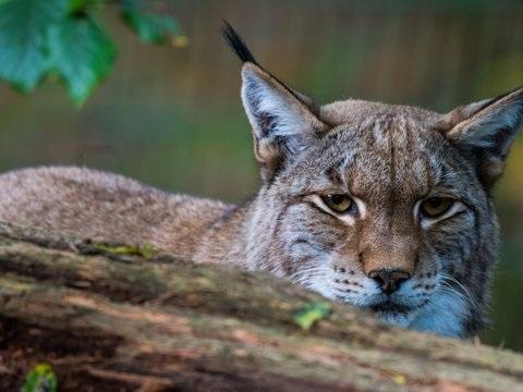 Kein Nachweis von Luchs-Weibchen: Nur ein Tier in Hessen